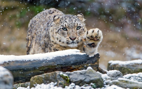 Fond d'écran Snow Leopard, patte, hiver