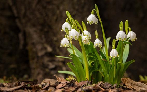壁紙 スノードロップ、白い花、緑の葉、春