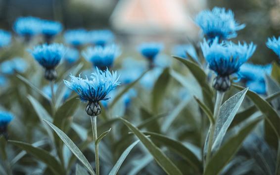 Wallpaper Some blue flowers, stem, leaves