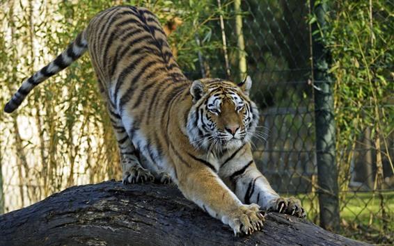 배경 화면 호랑이, 발톱, 스트레칭, 동물원