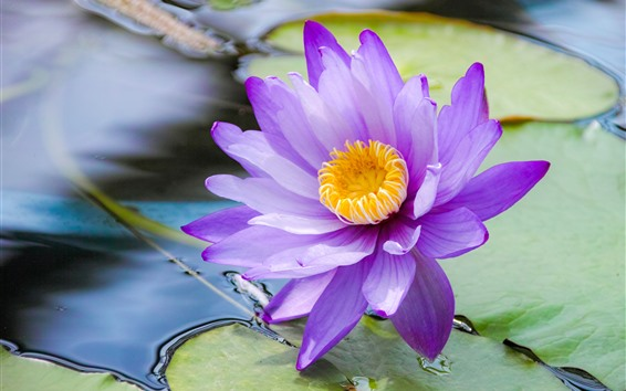 Wallpaper Water lily, purple petals, pond