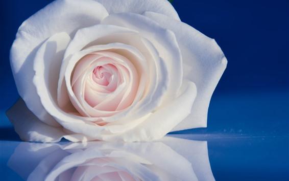 Fondos de pantalla Rosa blanca, pétalos, fondo azul.