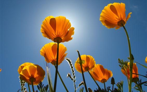 壁紙 黄色い花、茎、青い空、バックライト