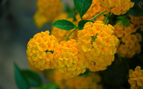 Wallpaper Yellow lantana flowers, inflorescence