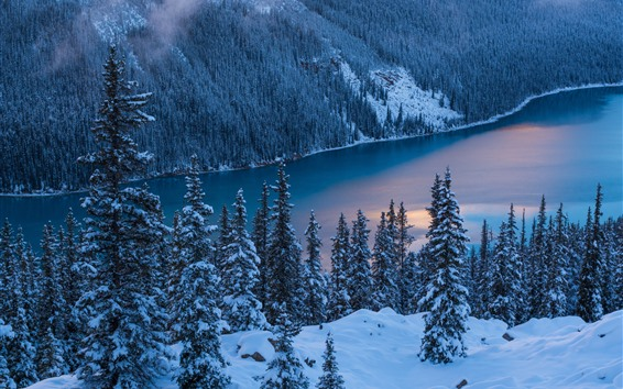 Wallpaper Banff National Park, winter, trees, snow, Peyto Lake, Canada