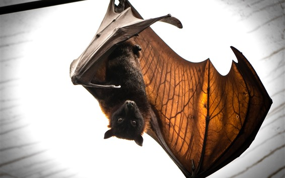 Wallpaper Bat, animal