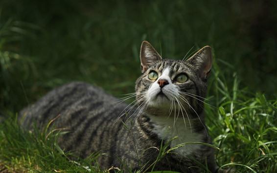 Papéis de Parede Gato olha para cima, grama