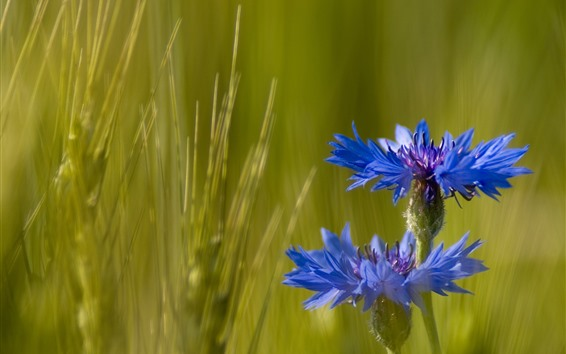 Wallpaper Cornflowers, blue flowers, green grass