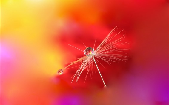 Wallpaper Dandelion, water droplets, red background