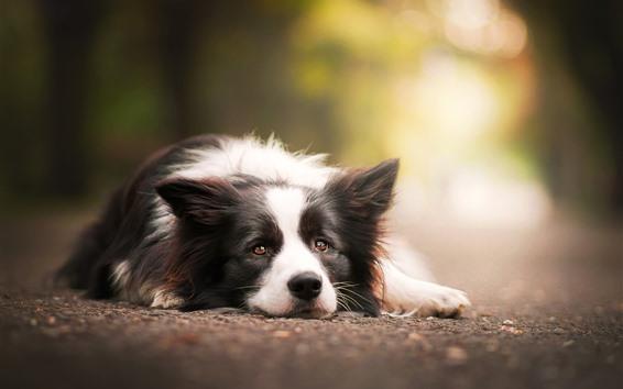 Papéis de Parede Descanso de cachorro, chão, olha