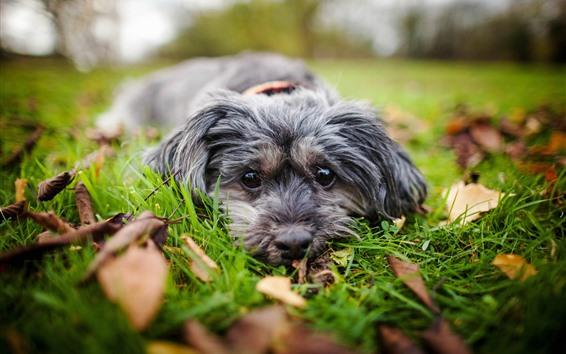 Wallpaper Dog, rest, look, grass, leaves