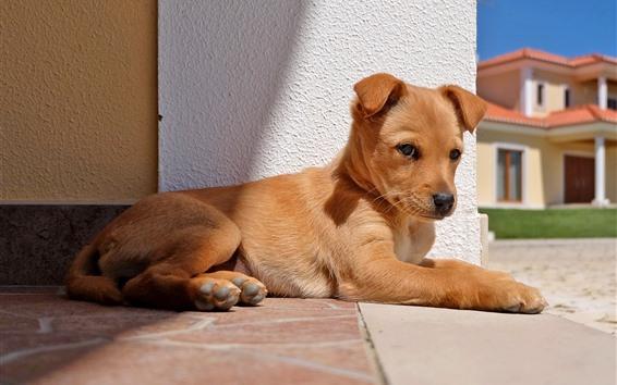 Fond d'écran Dog repose, regard, soleil