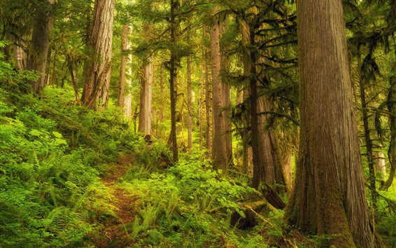 Fondos de pantalla Bosque, árboles, jungla, hierba verde.