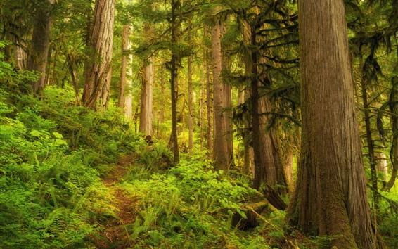 Papéis de Parede Floresta, árvores, selva, grama verde
