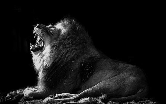 Papéis de Parede Imagem de leão, bocejo, preto e branco
