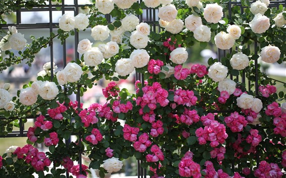 Wallpaper Many pink and white roses, fence