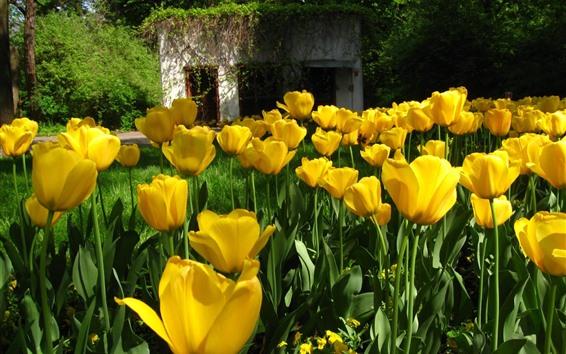 Wallpaper Many yellow tulip flowers, flowering, house