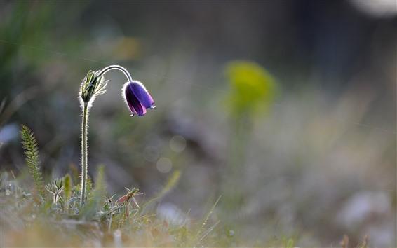 Wallpaper One purple bell flower, hazy