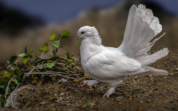Wallpaper One white dove, feathers, leaves