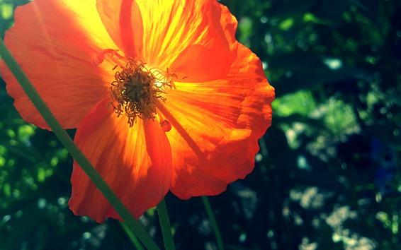 壁紙 オレンジポピーの花のクローズアップ、花びら、バックライト