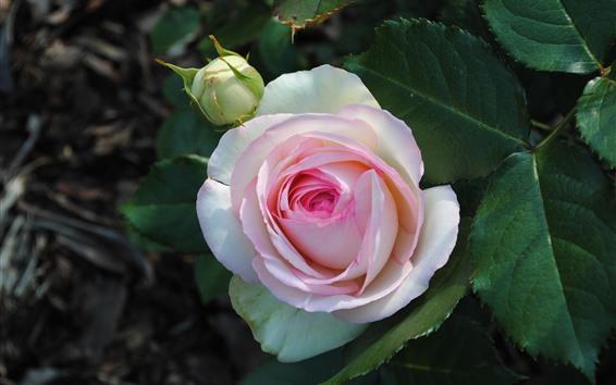 壁紙 ピンクの白い花びら、バラ、緑の葉