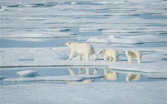 Обои Полярные медведи, прогулка, снег, море