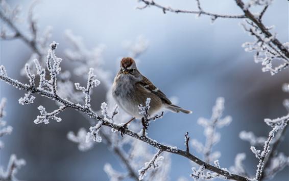 壁紙 スズメ、鳥、小枝、雪、冬
