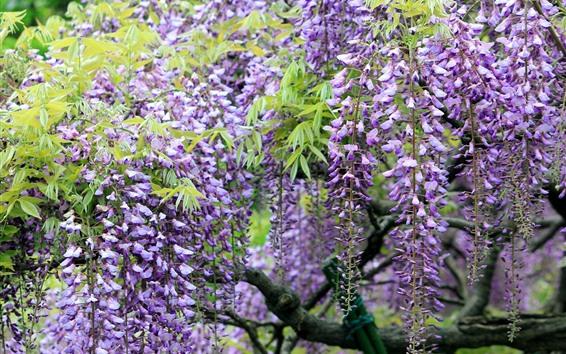 배경 화면 봄 꽃, 등나무, 자주색