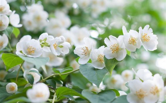 壁紙 白いジャスミンの花、花びら、春