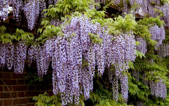 Wallpaper Wisteria, many purple flowers, spring