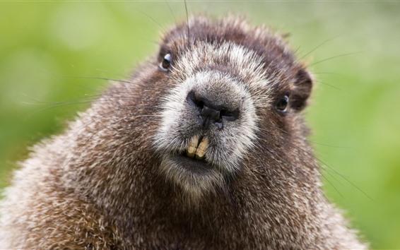 Wallpaper Beaver, face, teeth