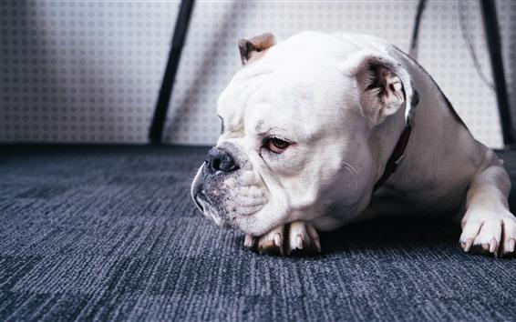 Wallpaper Bulldog, dog, rest, floor