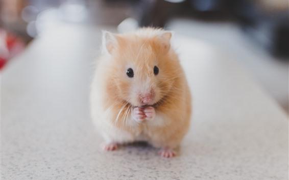 Wallpaper Cute hamster, rodent