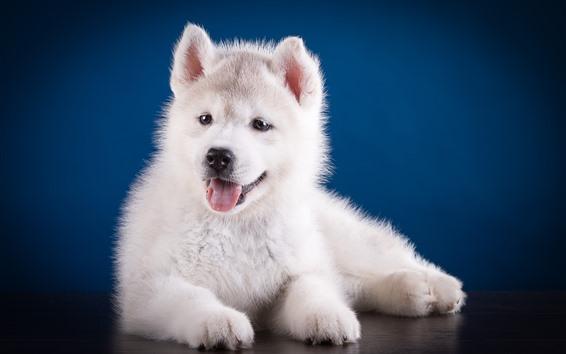 Wallpaper Cute white puppy, Husky dog