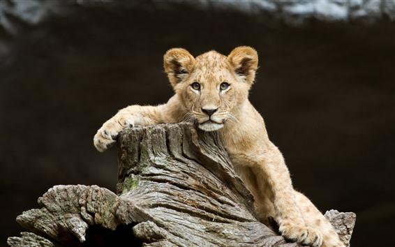 Wallpaper Lion cub, look, wood