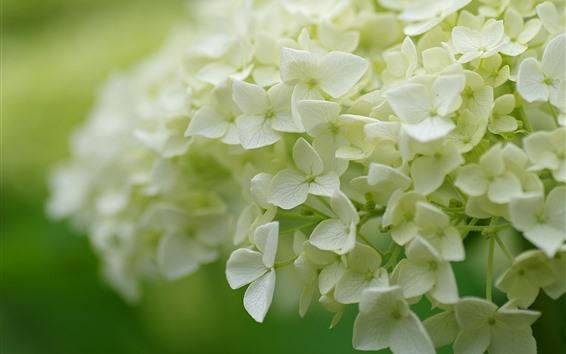 Fondos de pantalla Muchas flores, hortensia blanca, inflorescencia.
