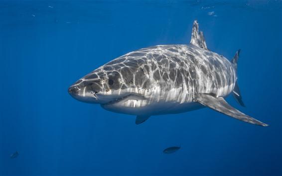 Wallpaper Sea animal, shark, underwater, fish