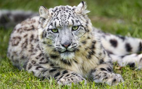 Fond d'écran Snow Leopard, repos, vue de face, regarder, yeux, herbe