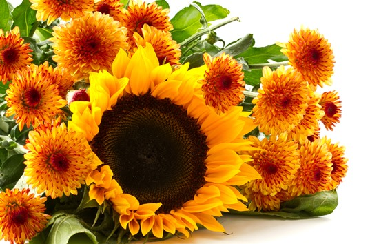 Обои Подсолнечник и хризантема, желтые цветы, белый фон
