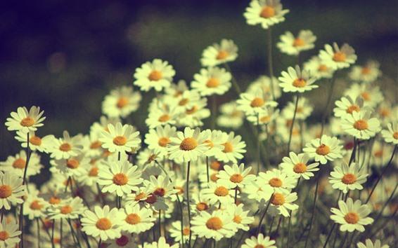 Hintergrundbilder Weiße Gänseblümchen, dunstig, Blumen