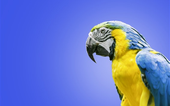 Wallpaper Blue and yellow feathers macaw, parrot
