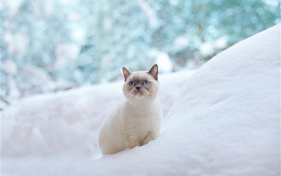 Fond d'écran Yeux bleus chat, regard, neige, hiver