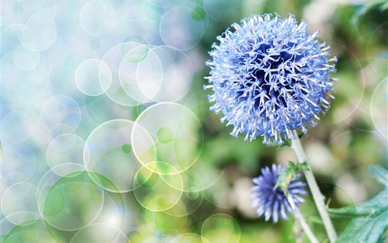Hintergrundbilder Blaue kleine Blumen, Blumenball, Stängel, Lichtkreise