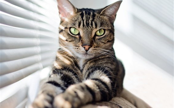 Wallpaper Cat look, green eyes, window, sunshine