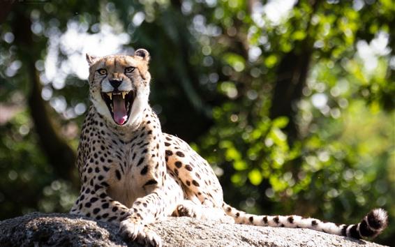 Wallpaper Cheetah, mouth, fangs, rest, sunshine