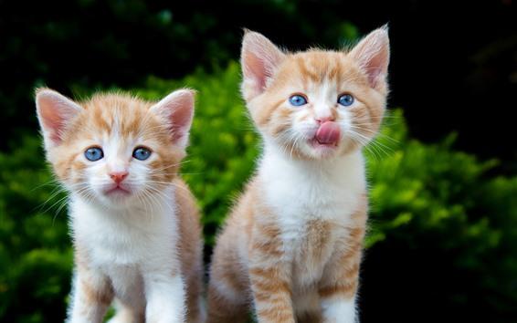 Обои Милые две котят, кошки, голубые глаза