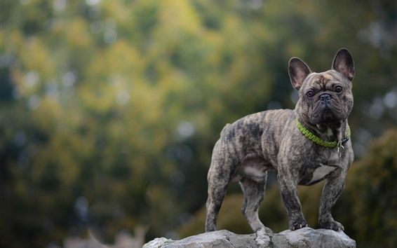 Обои Французский бульдог, собака, серый, камень