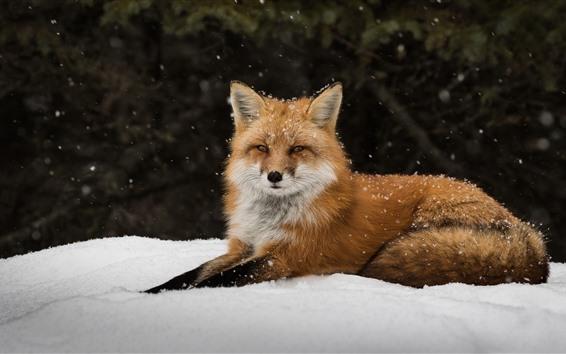 Fond d'écran Renard solitaire, neige, regarder, repos
