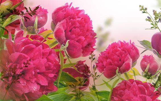 Fond d'écran Peonies roses, fleurs, pétales, gouttelettes d'eau