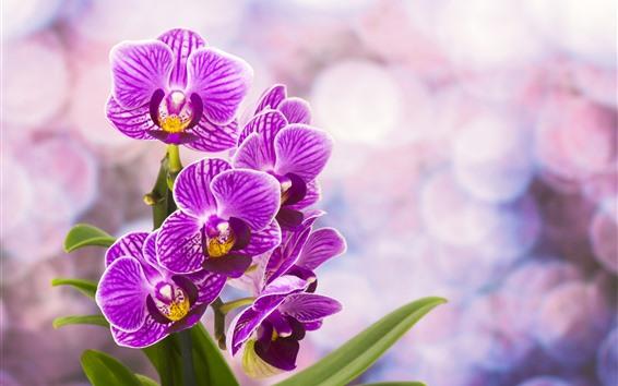 Wallpaper Purple phalaenopsis flowering, hazy background
